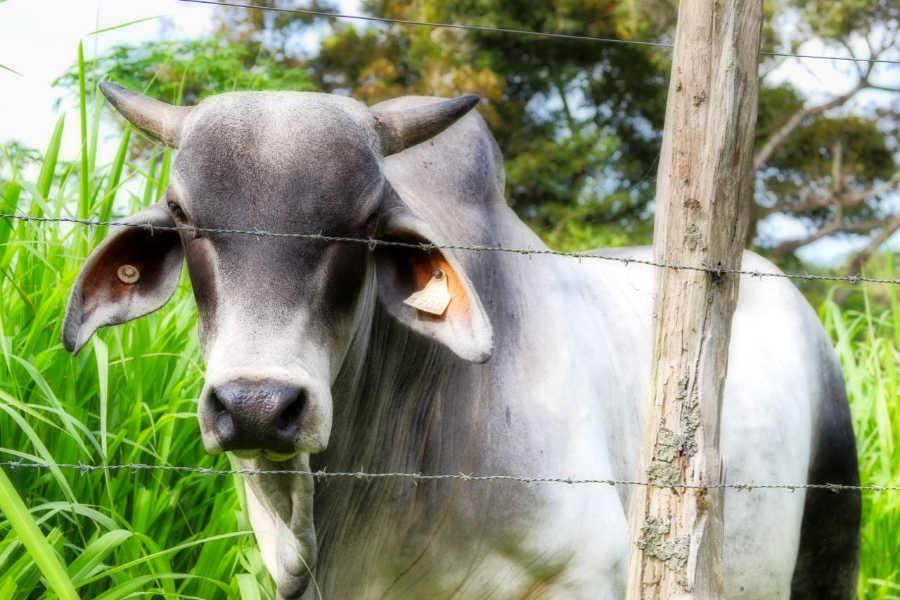 Brahmin cow in Panama | PANAMAEXPATINFO.COM